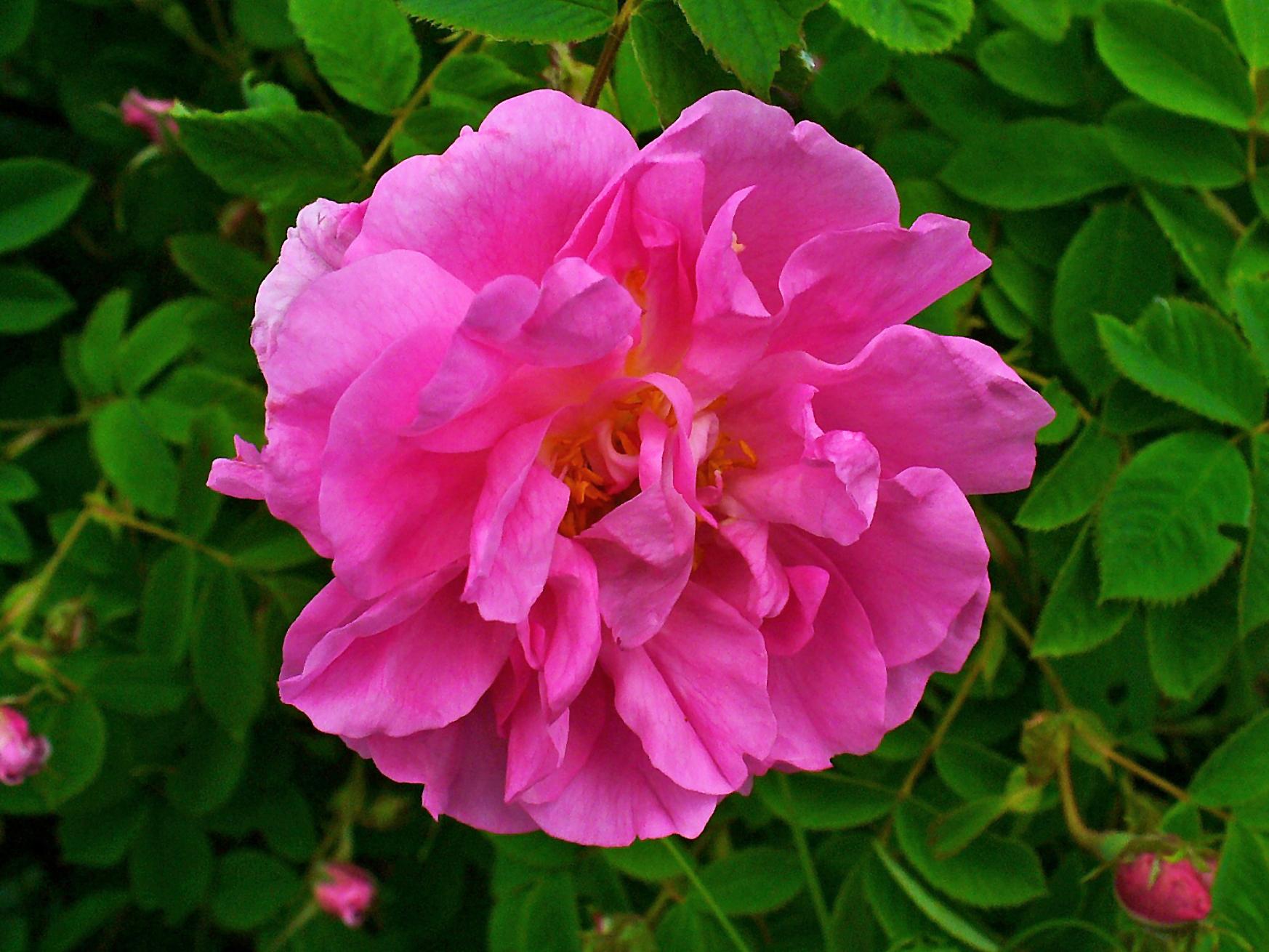 bulharská růže UNIQ Cosmetics