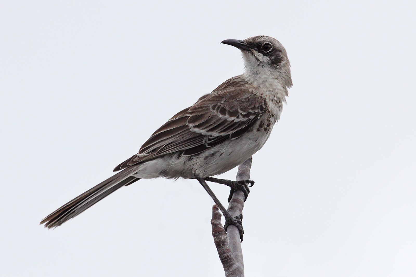 San_Cristobal_Mockingbird.jpg