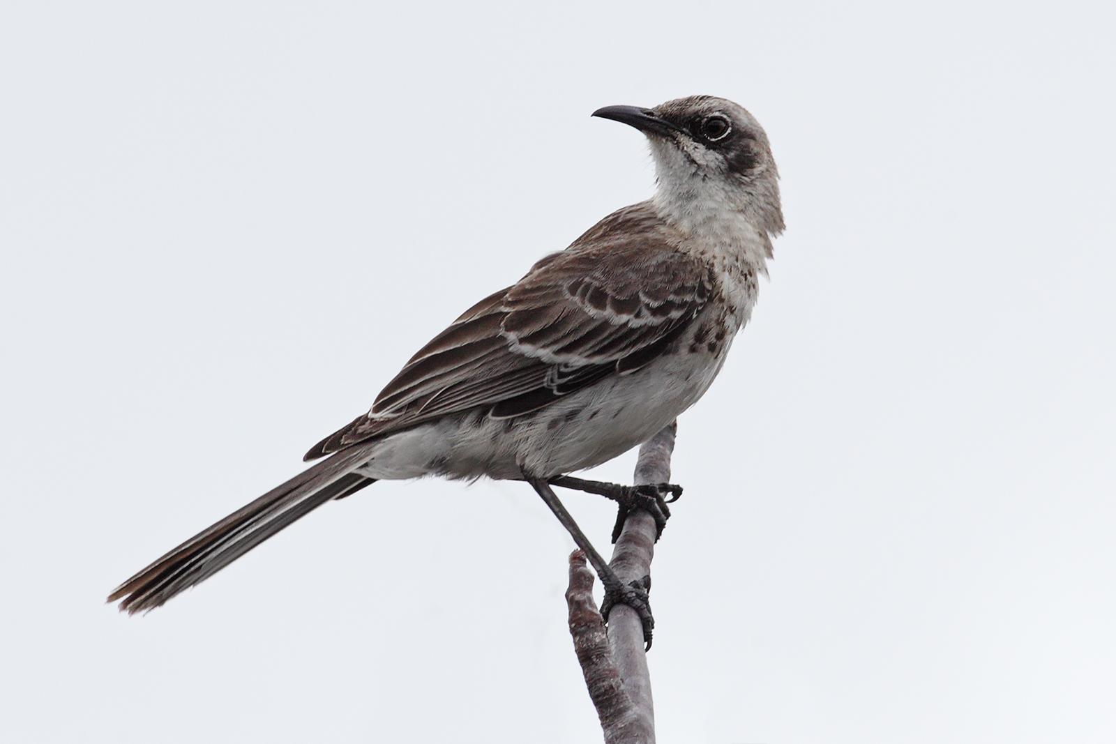 The Mockingbirds You Stole My Love