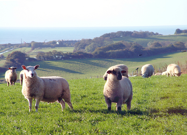 File:Sheep on Hogg Hill. - geograph.org.uk - 44677.jpg