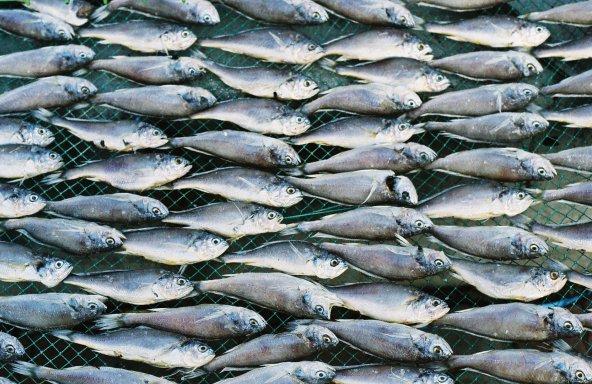 File:Small fish in symmetrical pattern.jpg