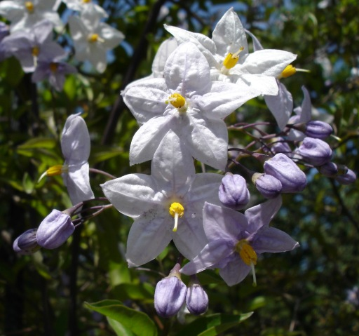 Solanum laxum or jasminoides