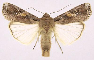 【農業】アフリカで壊滅的食害もたらした害虫、アジアで初確認 食料安保に警鐘 ->画像>12枚