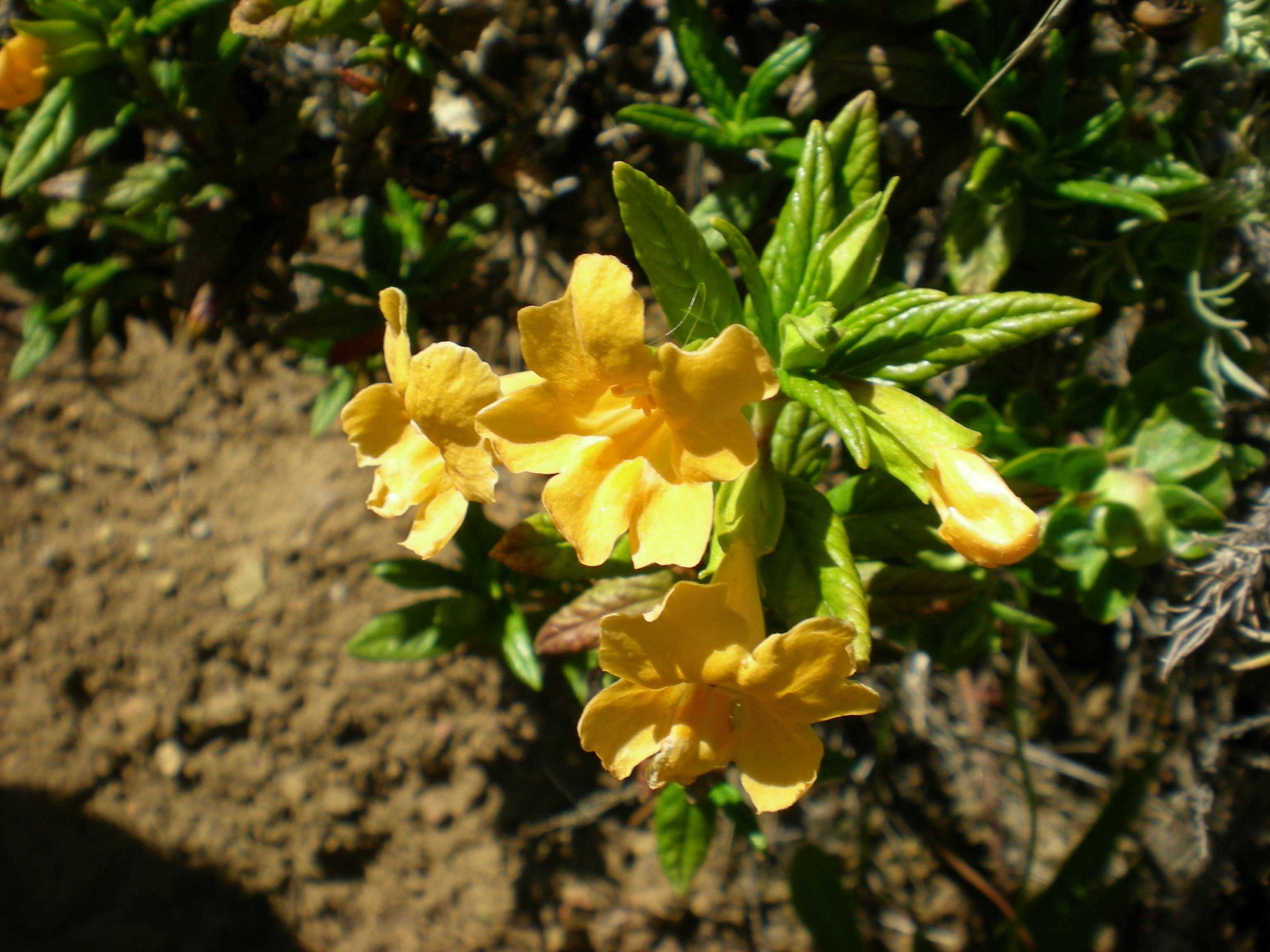 File Sticky Monkey Flower Mimulus aurantiacus JPG Wikimedia mons