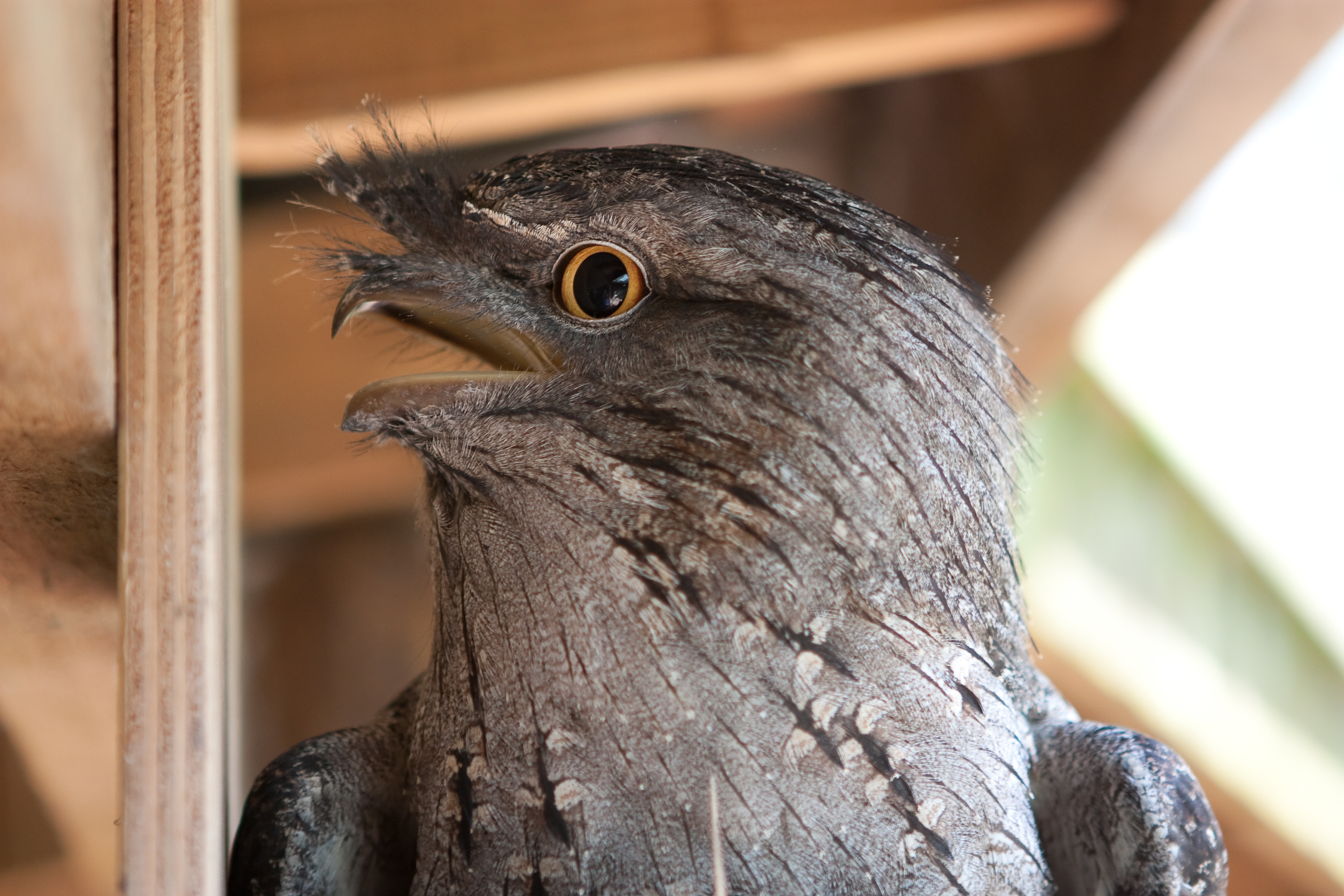 Tawny frogmouth profile view.jpg
