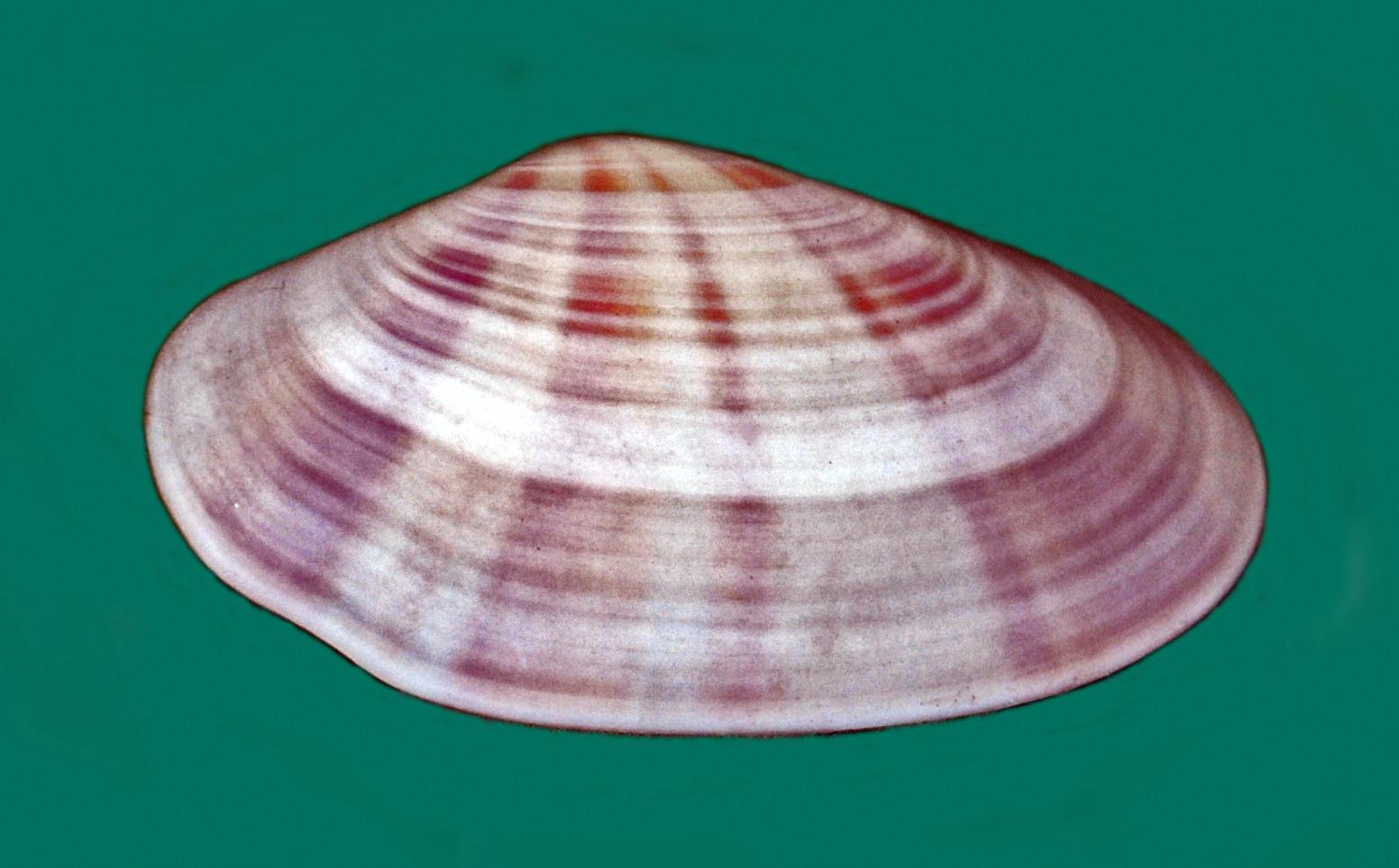 Tellinidae - Tellina radiata.JPG © Hectonichus