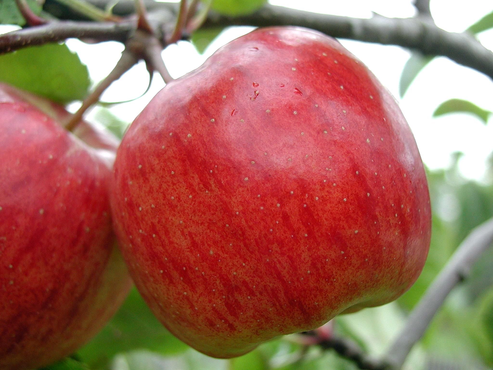 Image result for images of apples