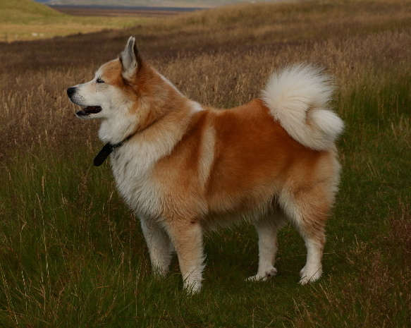 Medium Dog Breeds With Curly Tails | Dog Breeds Picture