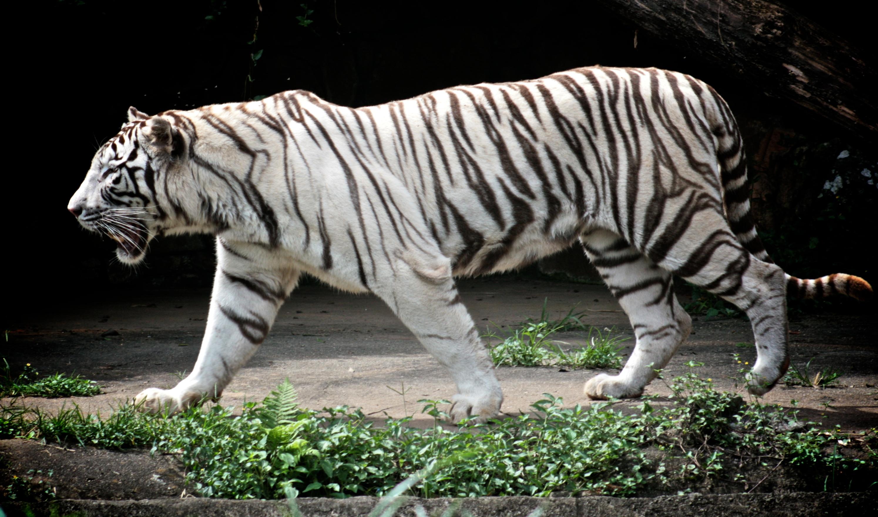 file white tiger 2409711282 jpg wikimedia commons