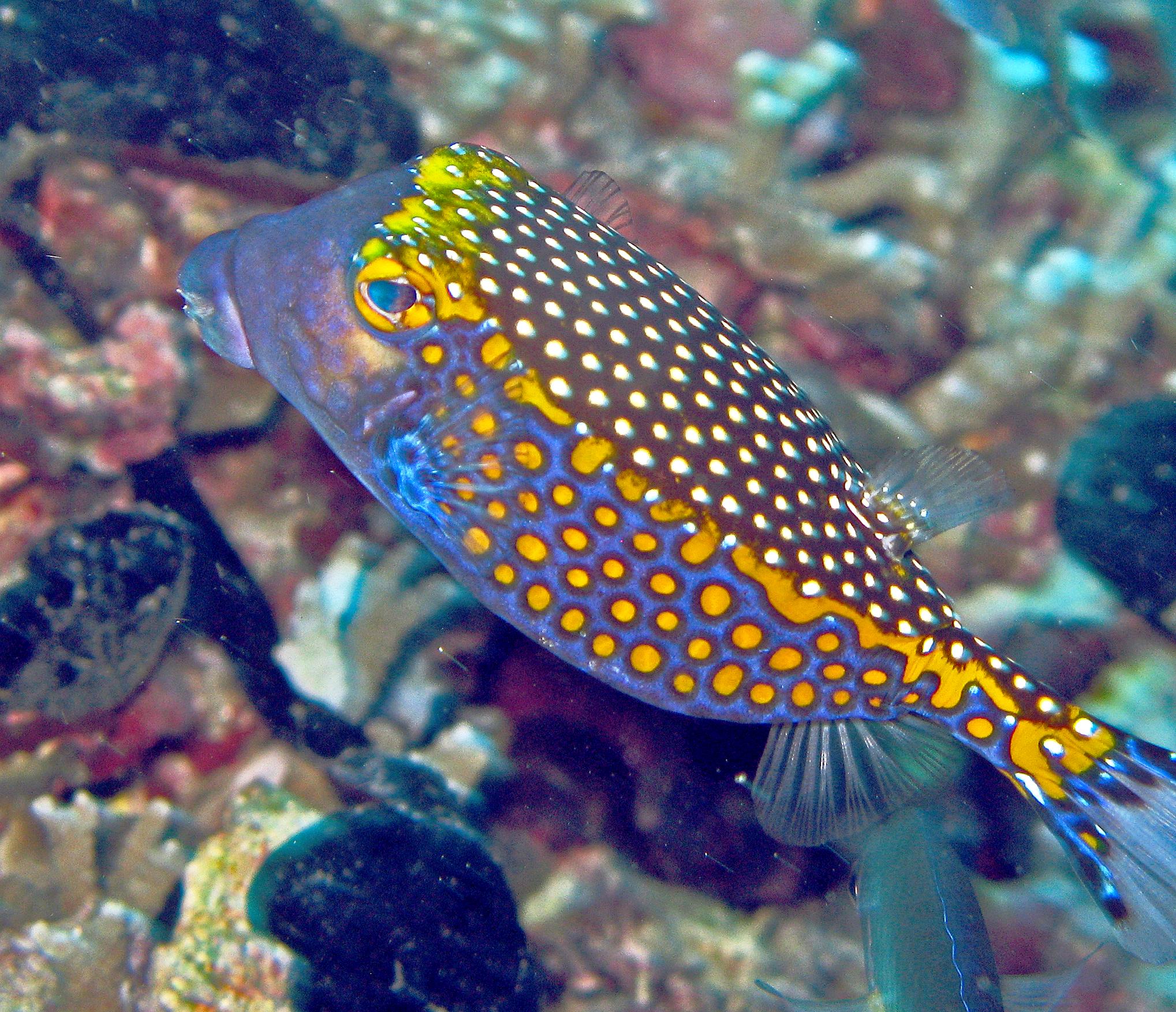 File:Whitespotted boxfish - Ostracion meleagris.jpg - Wikimedia ...