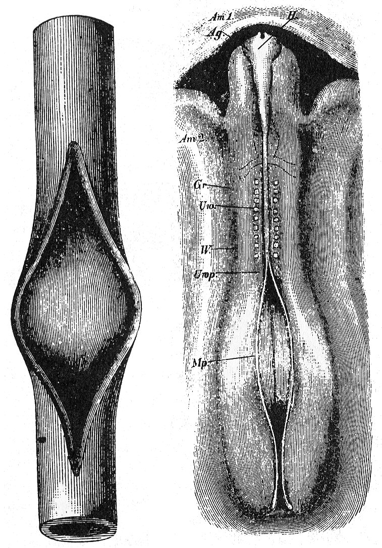 File:Wilhelm His chick embryo compared to slit rubber tube.jpg ...