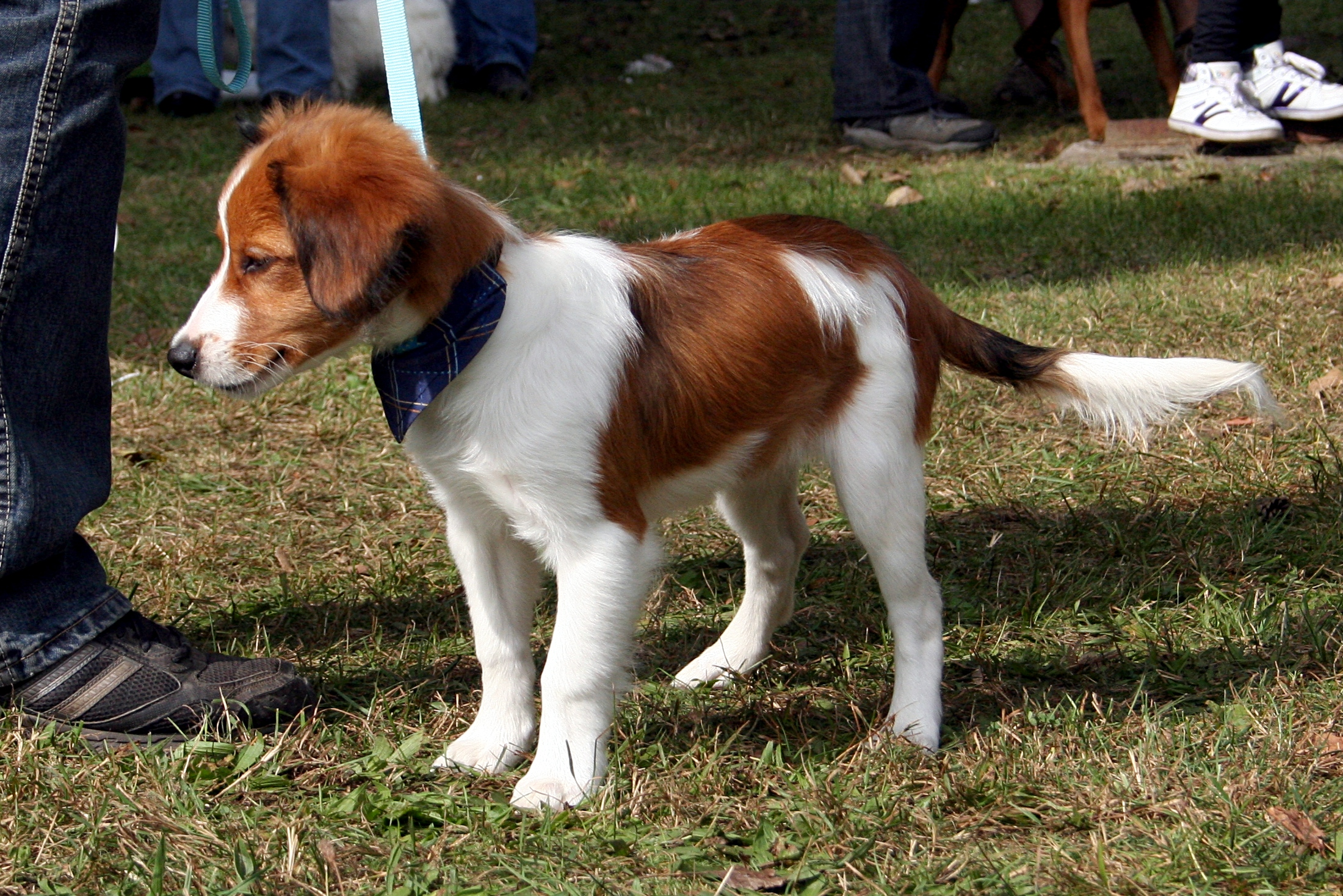 Medium Sized Dog Breeds In India