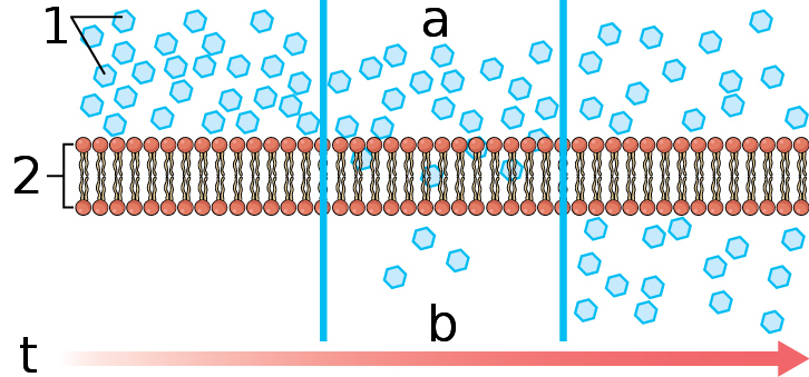File:0305 Simple Diffusion Across Plasma Membrane labeled ...