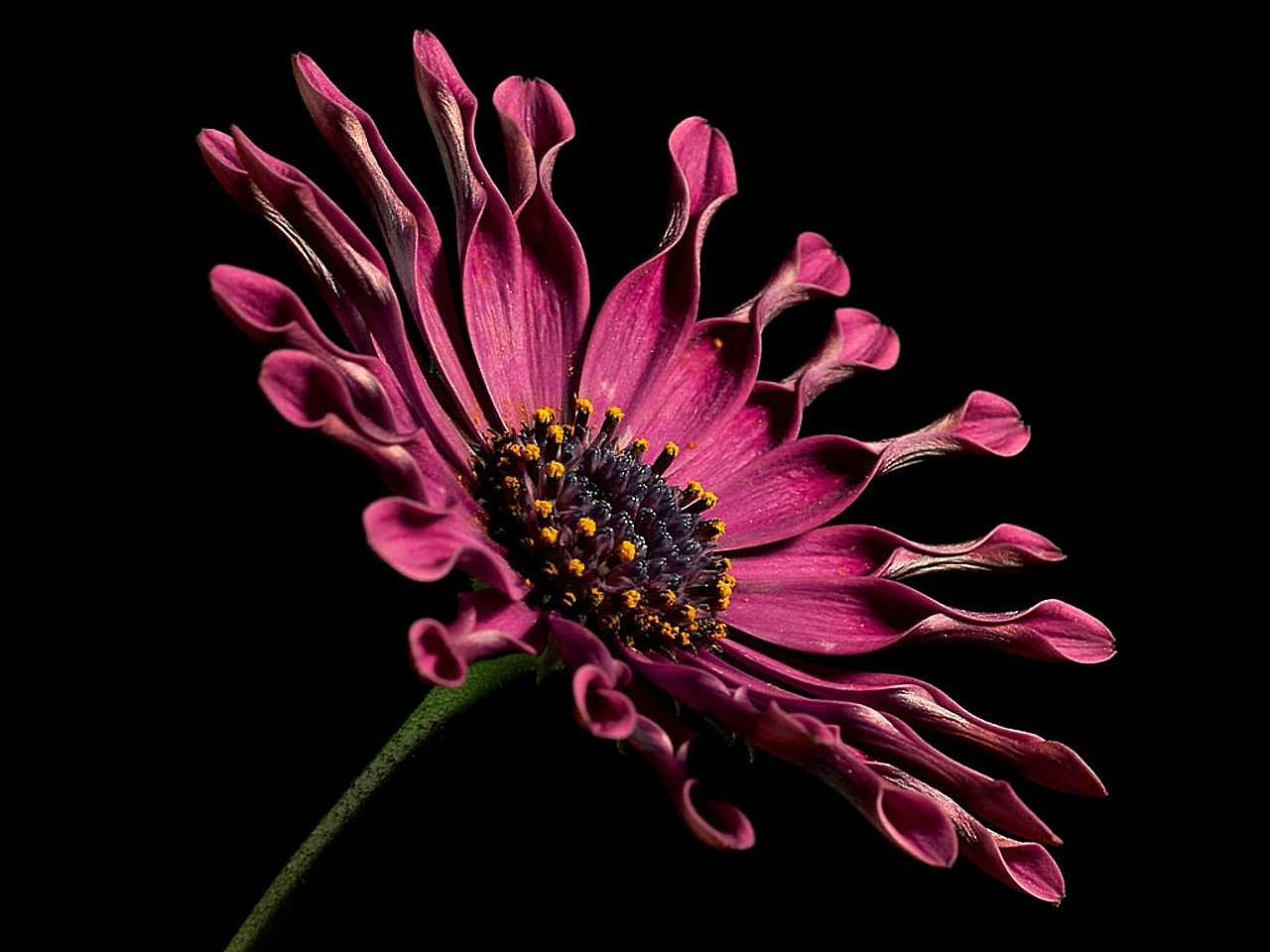 Fileafrican Daisy Flowerg Wikimedia Commons