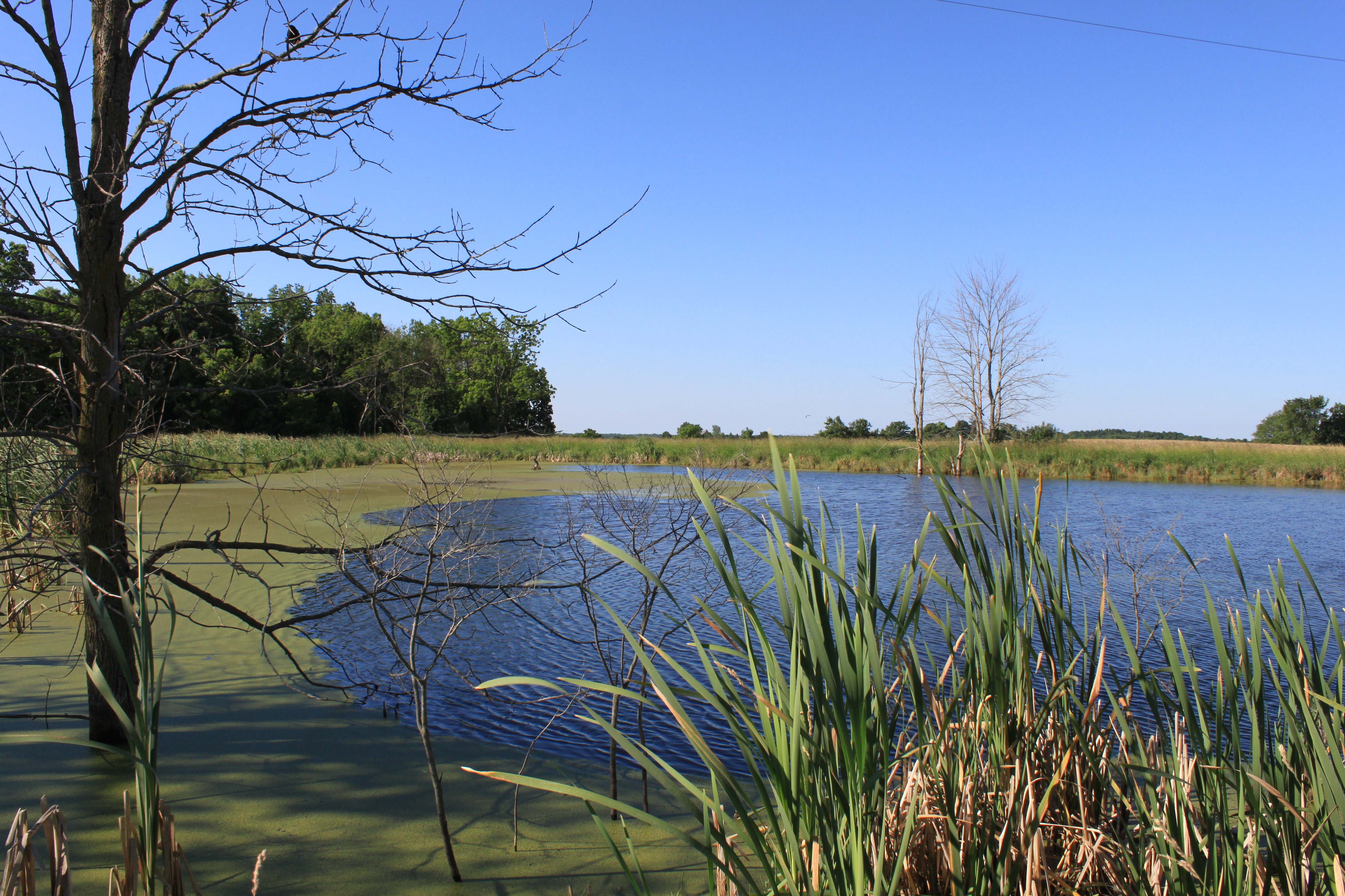 File algae covered pond bemis road bridgewater township michigan jpg