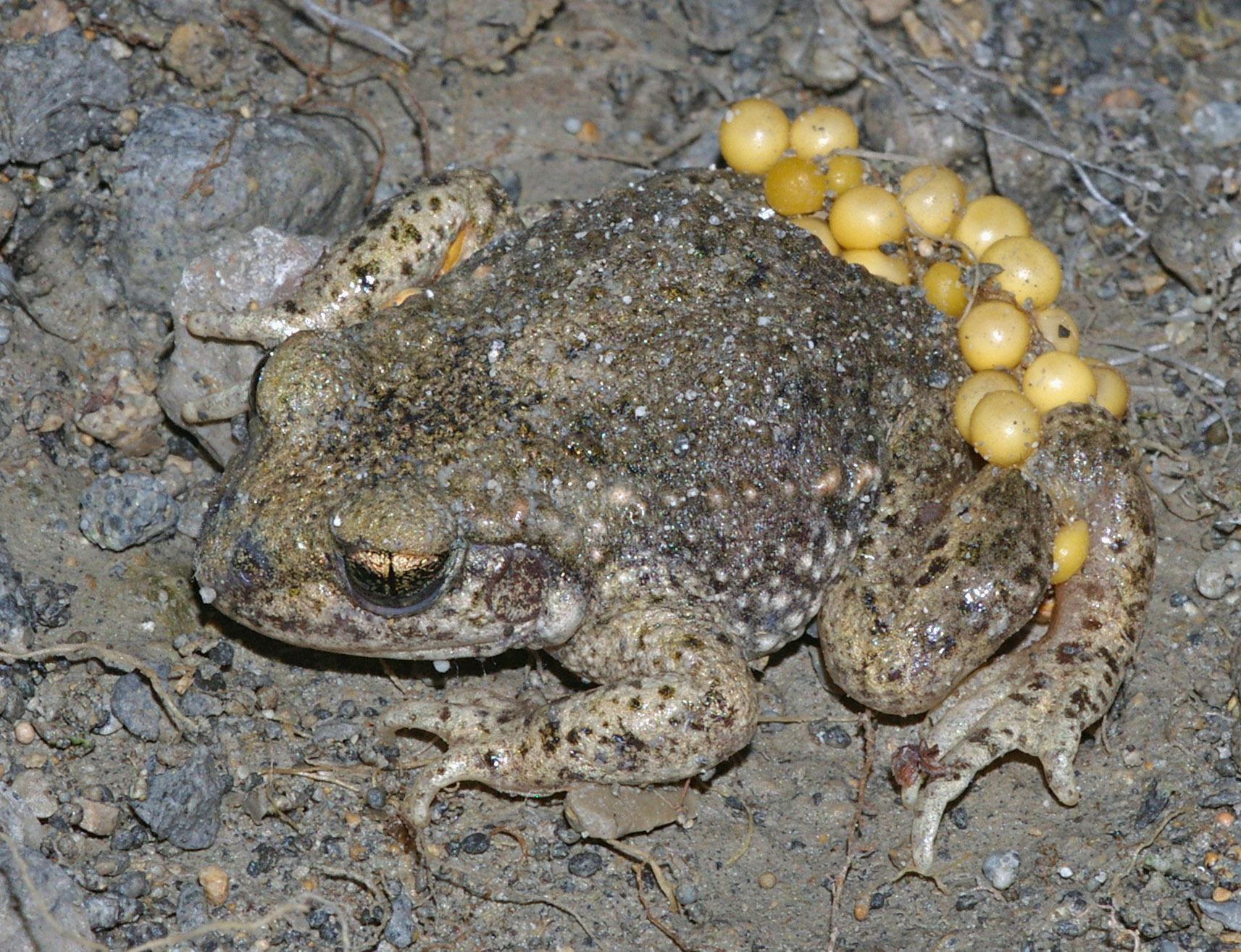 Frog wikipedia male common midwife toad with eggs alytes obstetricans biocorpaavc Images