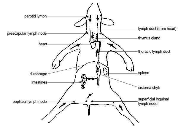 anatomy and physiology of animals circulation of lymph w major lymph  nodes jpg