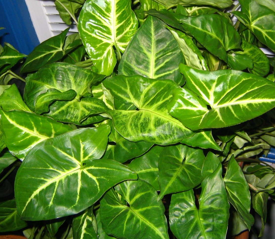 File arrowhead plant wikipedia for Hojas ornamentales