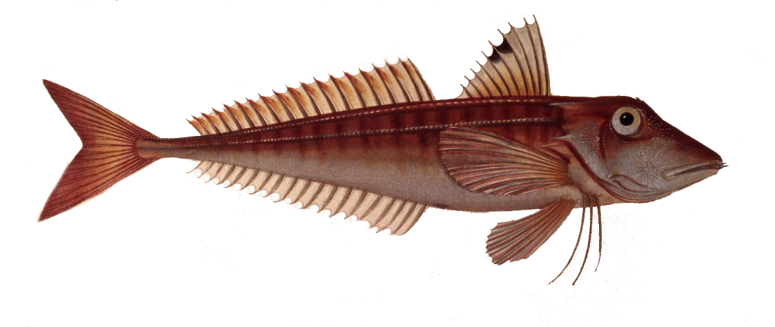 Red gurnard - Wikipedia