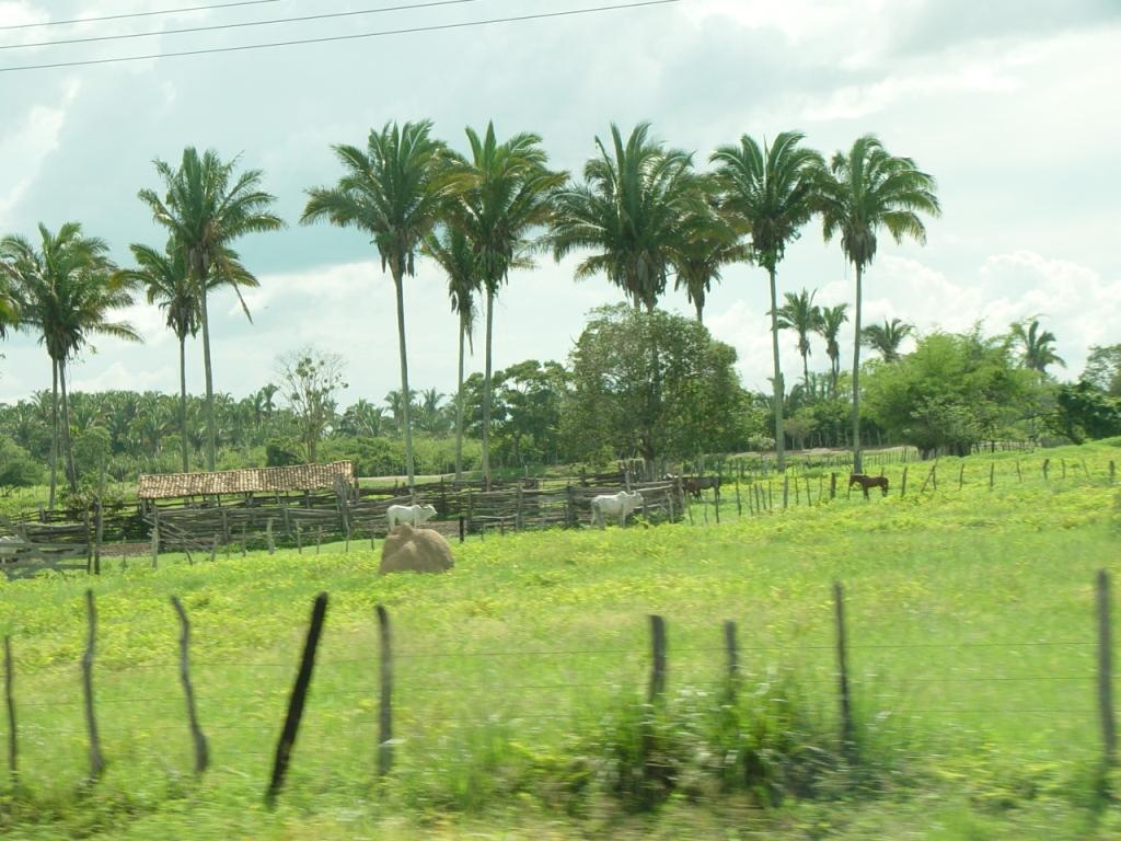 File Attalea Speciosa Jpg Wikimedia Commons Veja mais ideias sobre palmeiras, palmeira, óleo de coco para acne. https commons wikimedia org wiki file attalea speciosa jpg