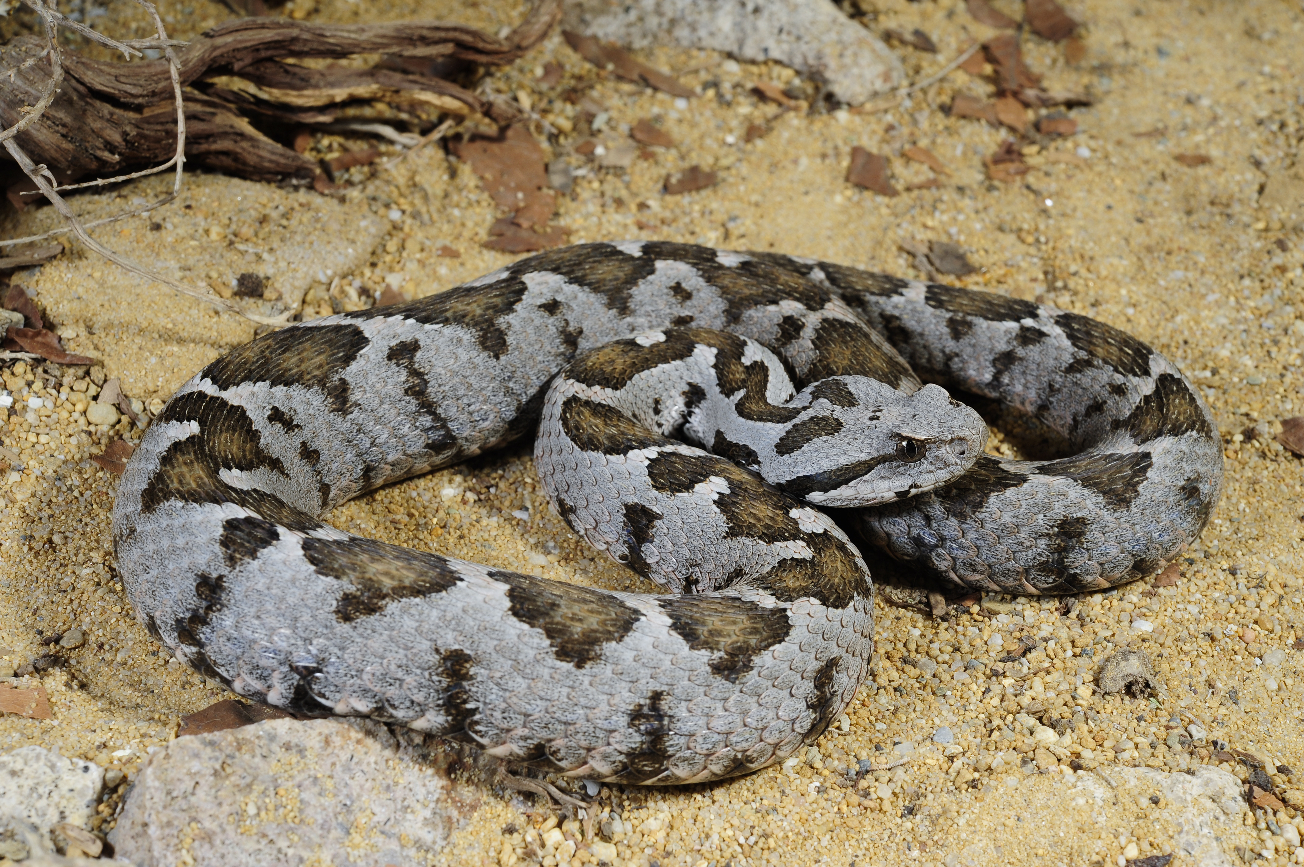 wikipedia featured pictures animals reptiles wikipedia