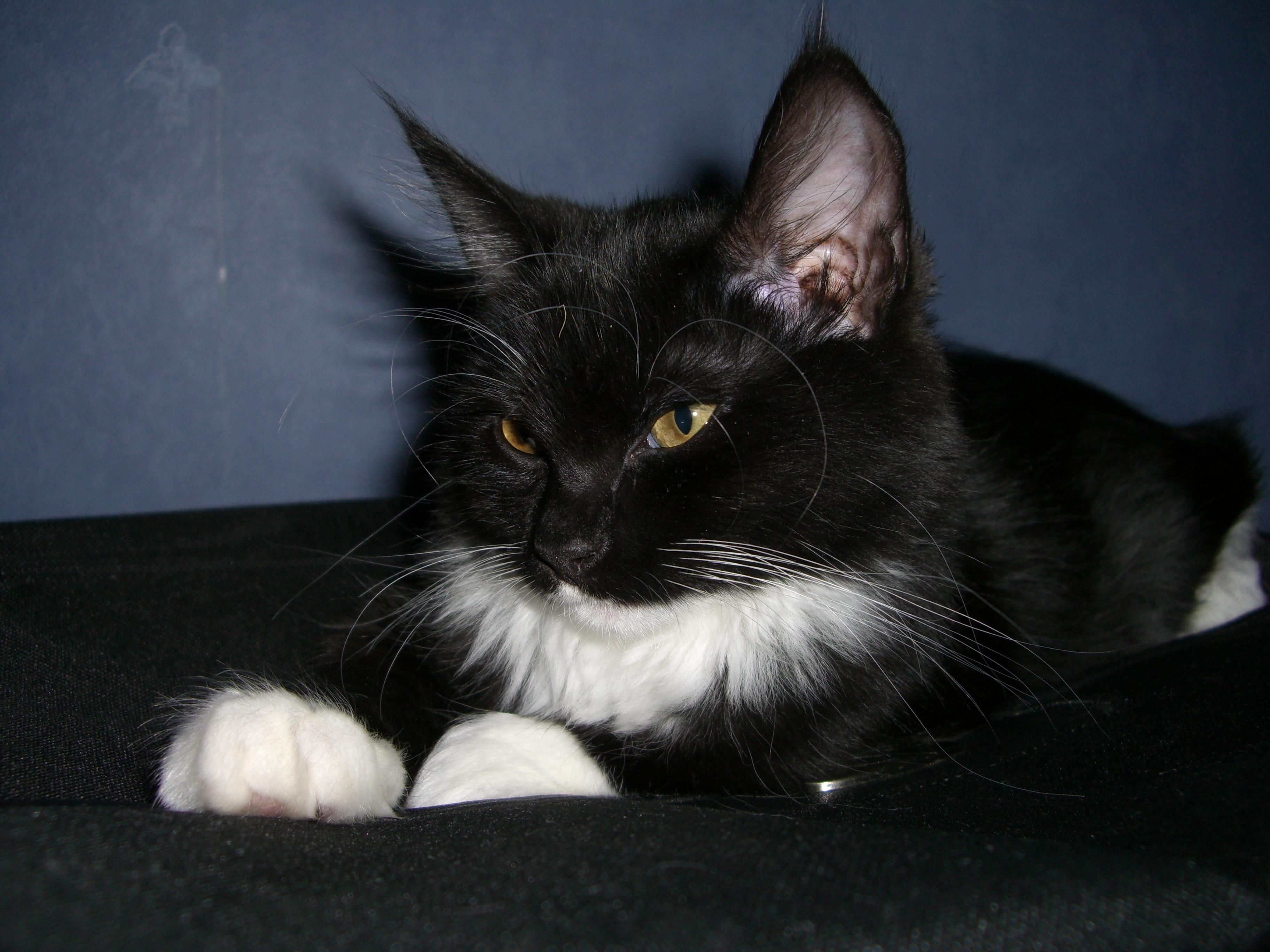 Gato Preto e Branco Raça Gato Preto e Branco da Raça