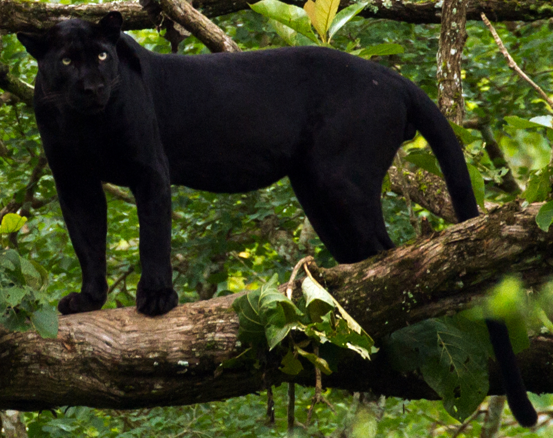 Panth 232 Re Noire Animal Wikip 233 Dia
