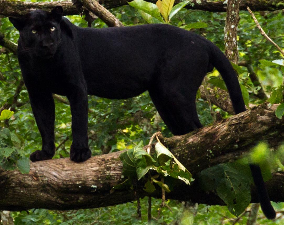 Panthère noire (animal) — Wikipédia Black Panther