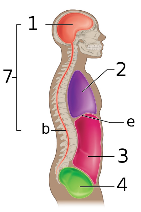 Lateral Body Organ Locations Diagram - Schematics Wiring Diagrams •