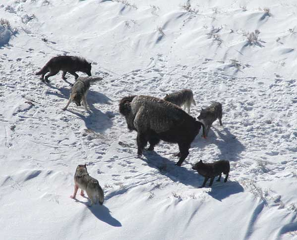 Canis lupus pack surrounding Bison