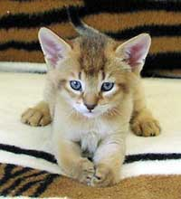 Very young Chausie kitten. Eye and coat color not yet fully developed.