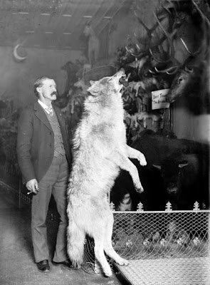 Photograph of Gray Wolf from kill in the Colorado Rockies ca. 1890-1900 in the Edwin Carter (Taxidermist) Collection, Breckenridge, Colorado Colorado Wolf - Colorado Taxidermist, Edwin Carter, Collection in Breckenridge, Mounted Wolf from a kill in Colorado Rockies.jpg