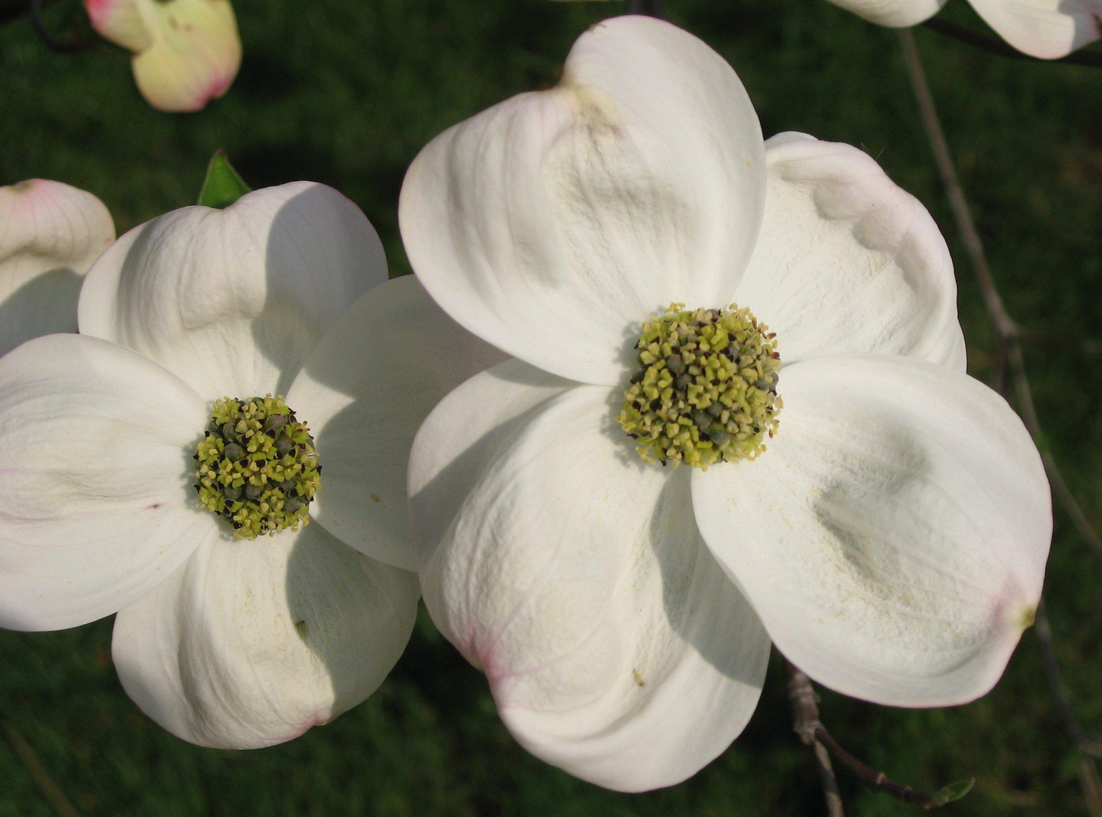 file cornus florida flowers 03 by wikimedia. Black Bedroom Furniture Sets. Home Design Ideas