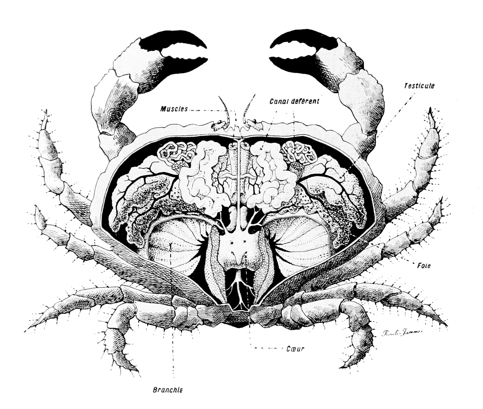 File:Crabe anatomie.jpg - Wikimedia Commons