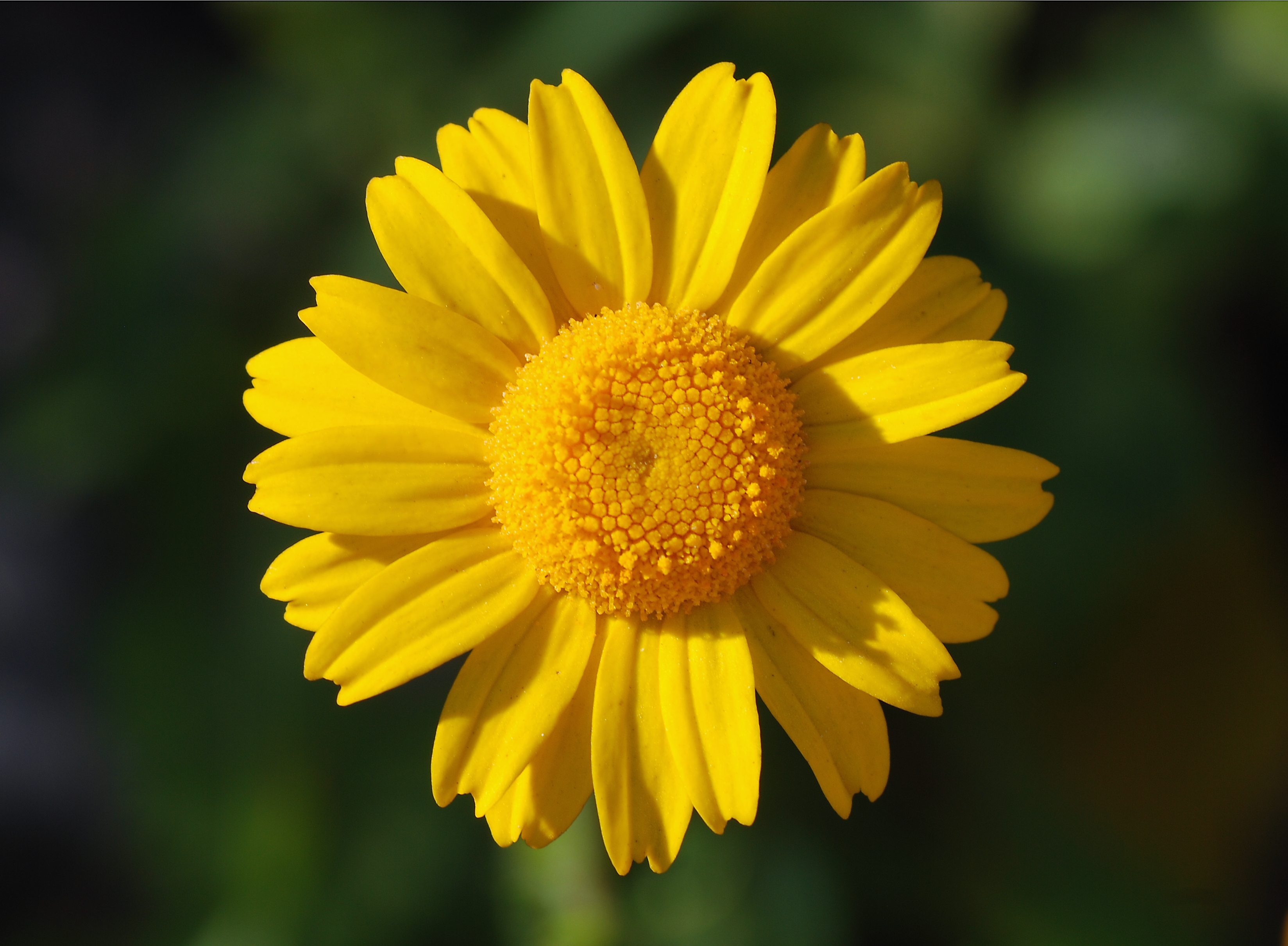 A yellow flower of Coleostephus myconis