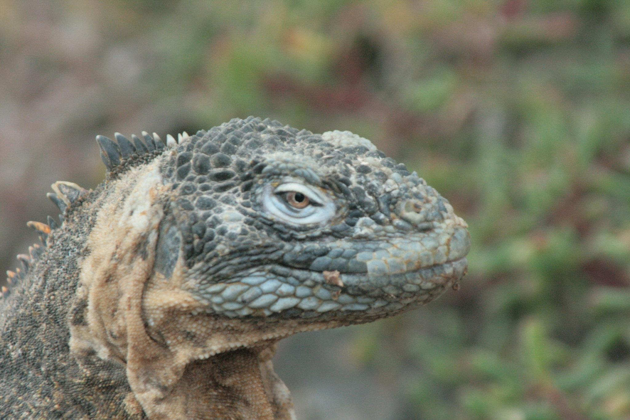 https://upload.wikimedia.org/wikipedia/commons/4/45/Galapagos_Marine_Iguana_Land_Iguana_Hybrid.jpg