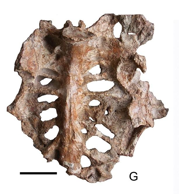 Gargantuavis_holotype_pelvis.jpg