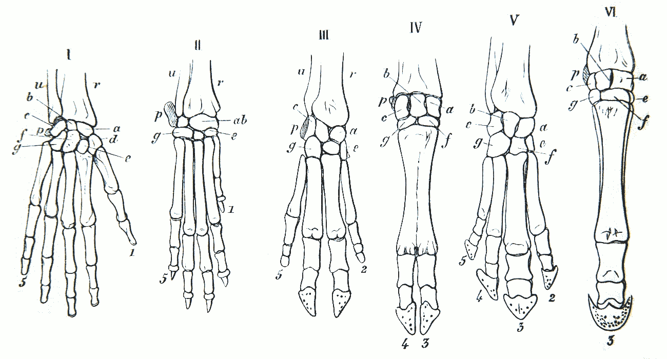 File:Gegenbaur 1870 hand homology.png - Wikimedia Commons