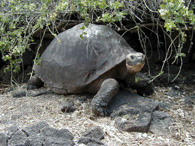https://upload.wikimedia.org/wikipedia/commons/4/45/Giant_Tortoise.jpg