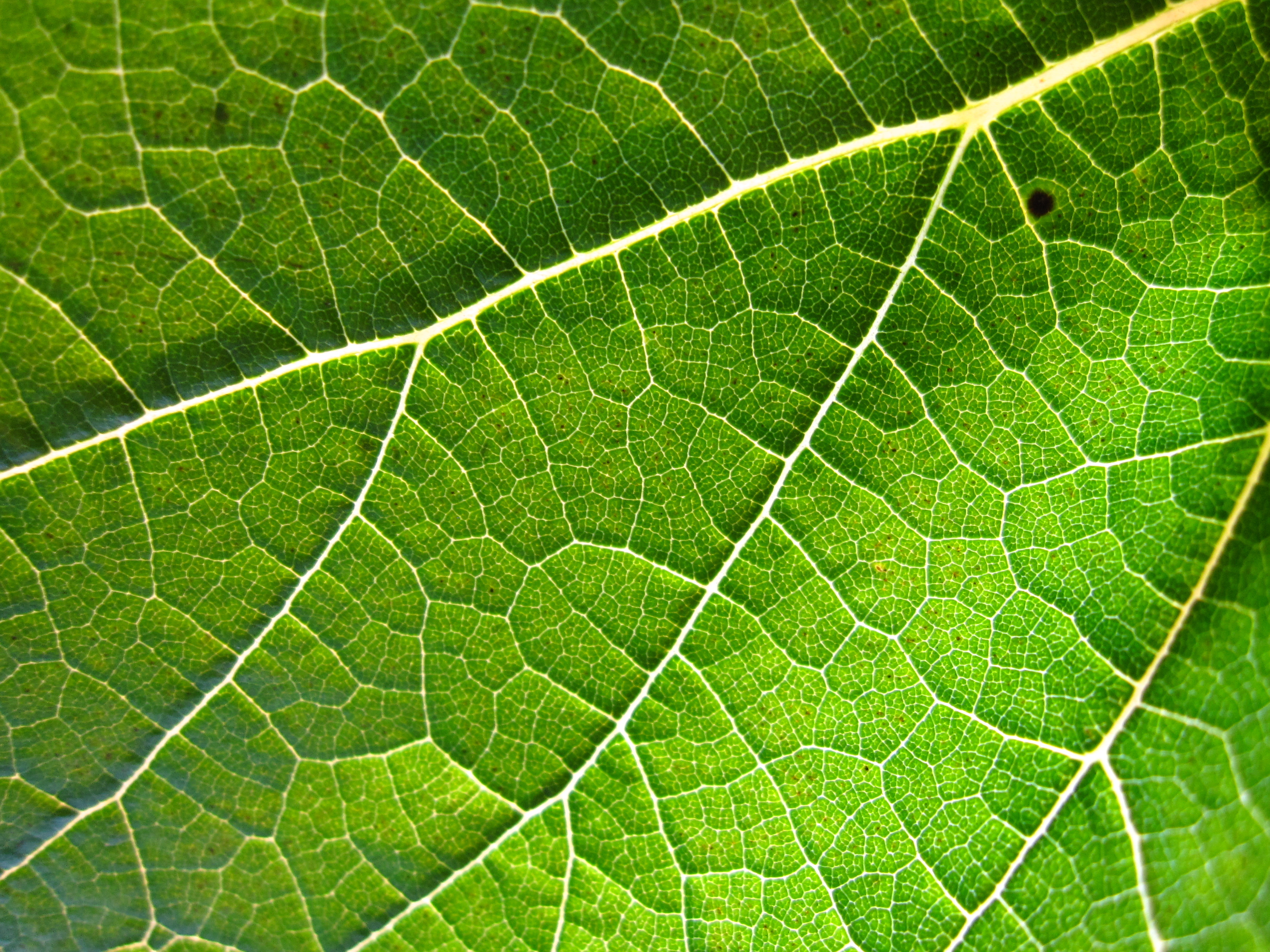 http://commons.wikimedia.org/wiki/File:Grapevine_leaf.jpg
