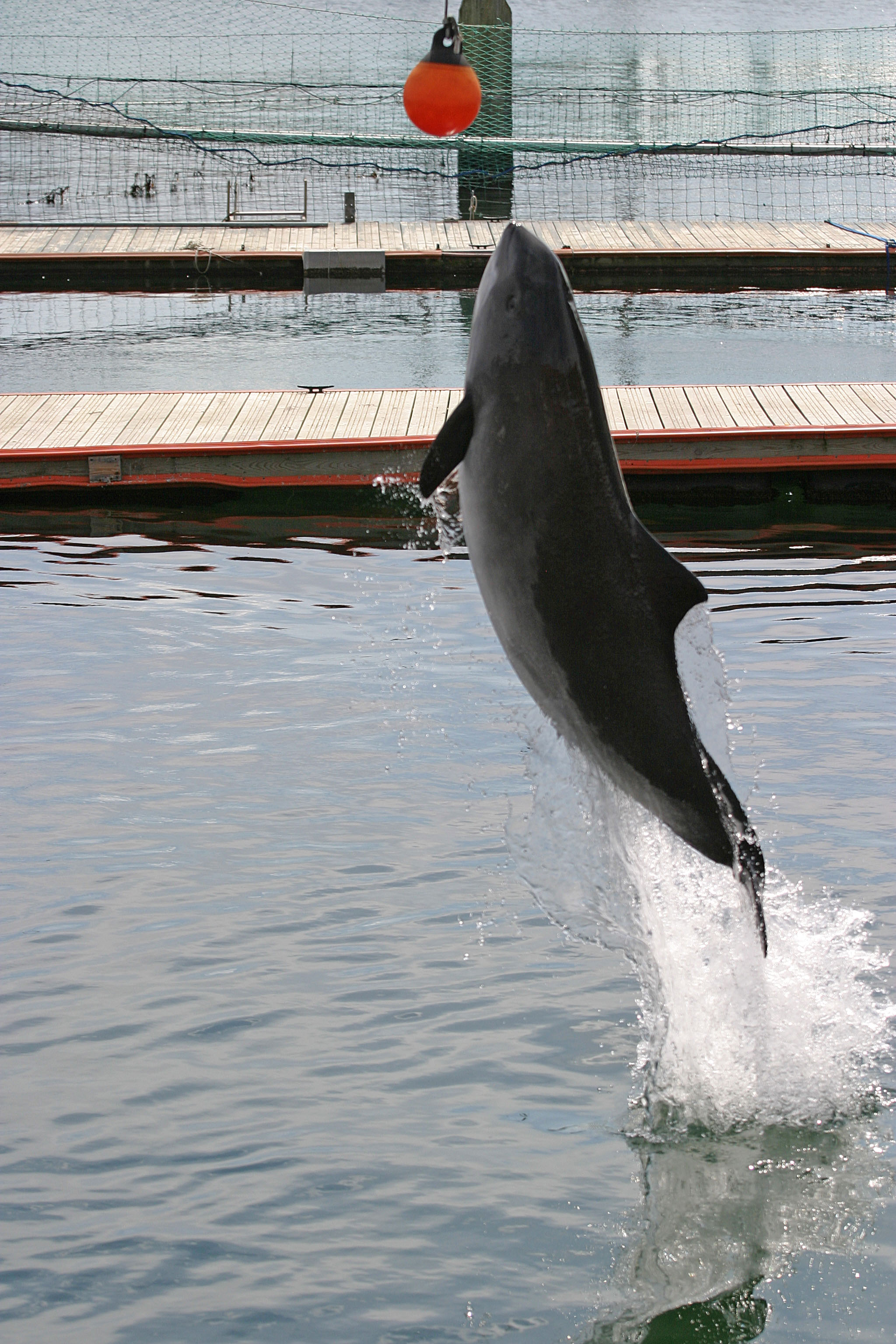 marsvin danmark