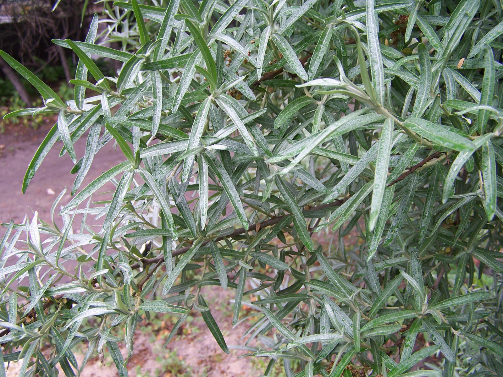 File hippophae rhamnoides - Growing sea buckthorn ...