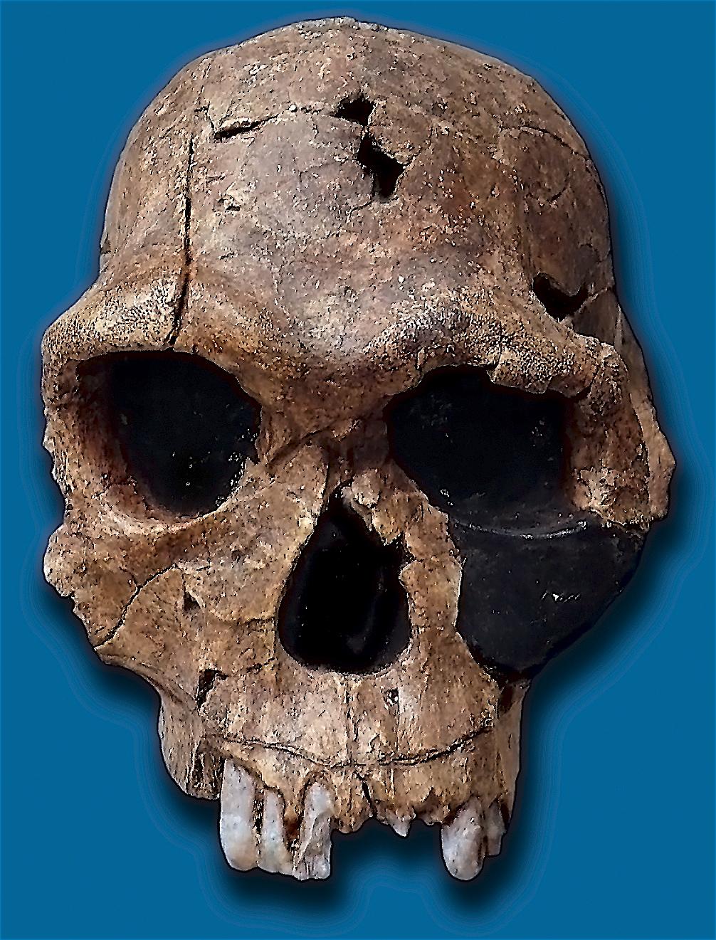 Schädel des Homo habilis