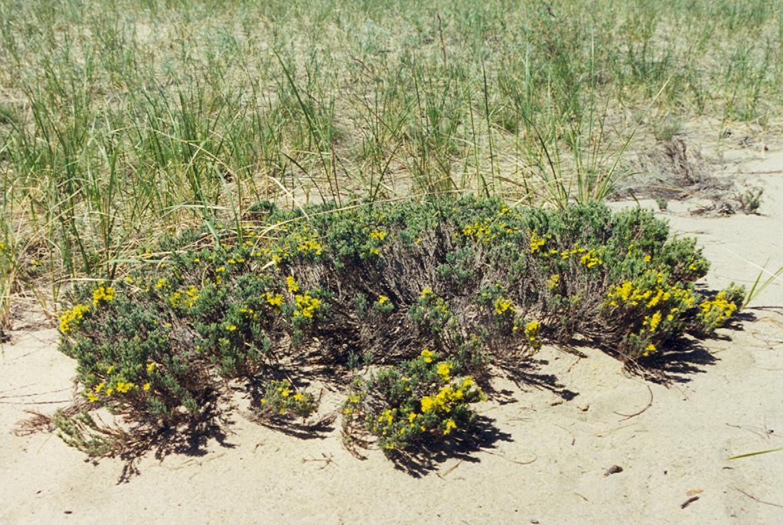 Hudsonia tomentosa, Pancake Bay PP.jpg