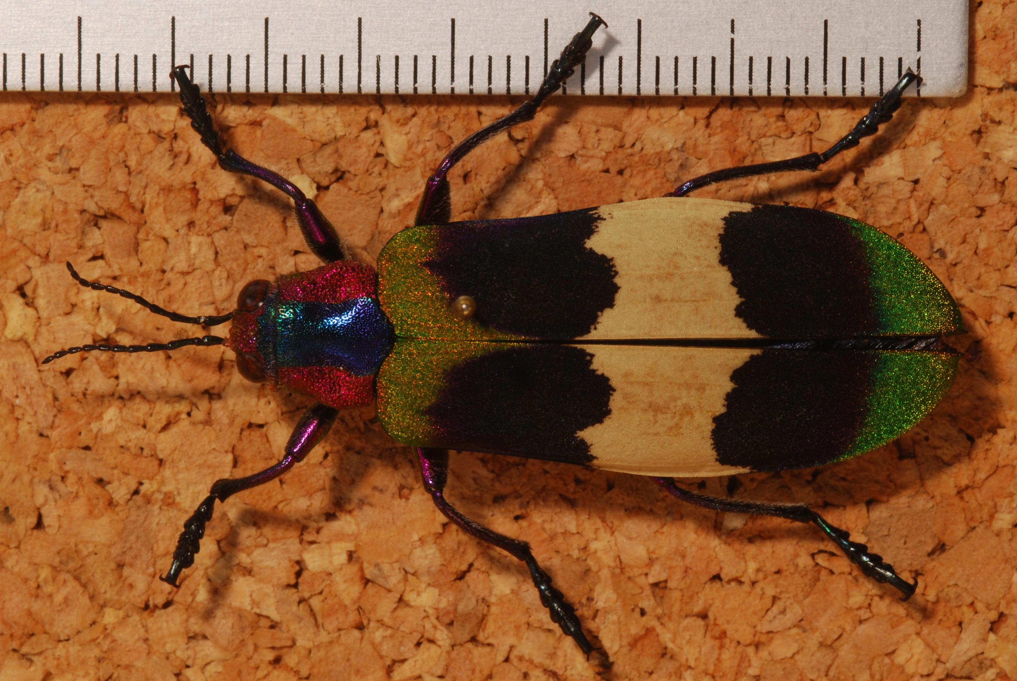 File:Jewel Beetle (Chrysochroa corbetti) (8233090470