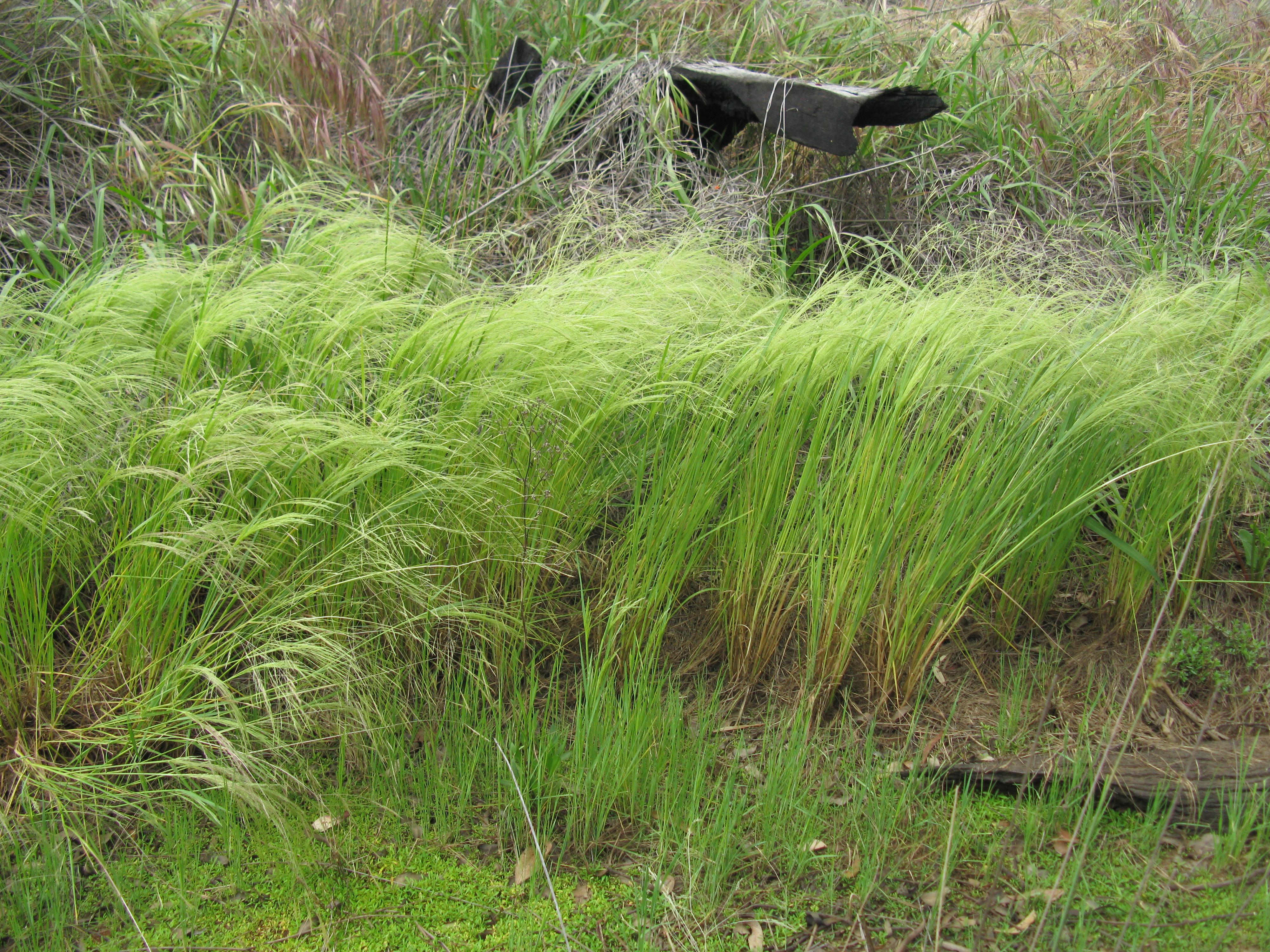 file lachnagrostis filiformis habit8 ballimore flickr macleay