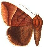 Lagoptera occidens.JPG