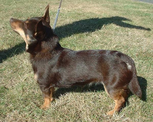 Lancashire Small Breed Of Dog Used As A Drover