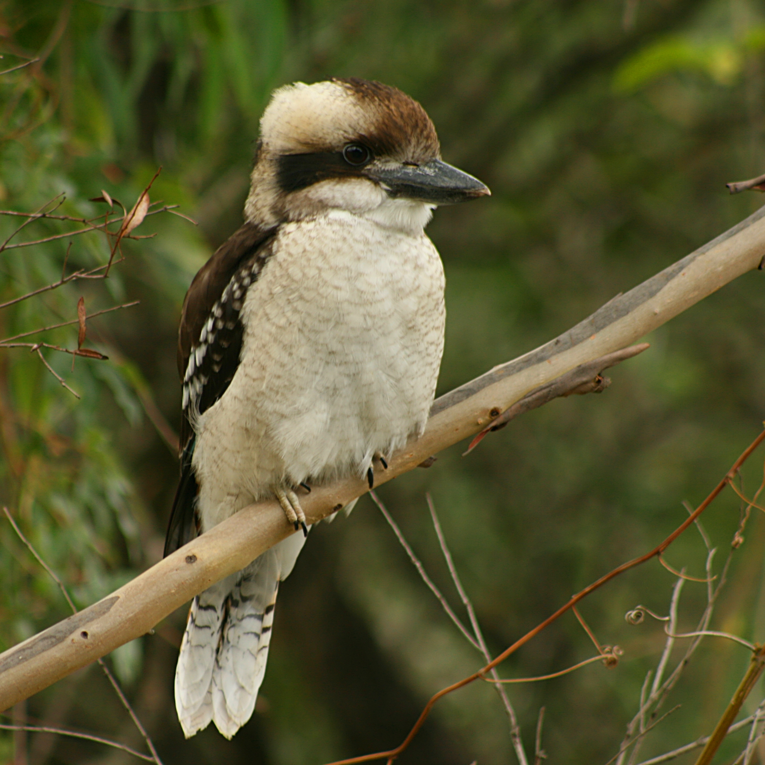 File:Laughing Kookaburra Juvenile Front.jpg - Wikimedia Commons