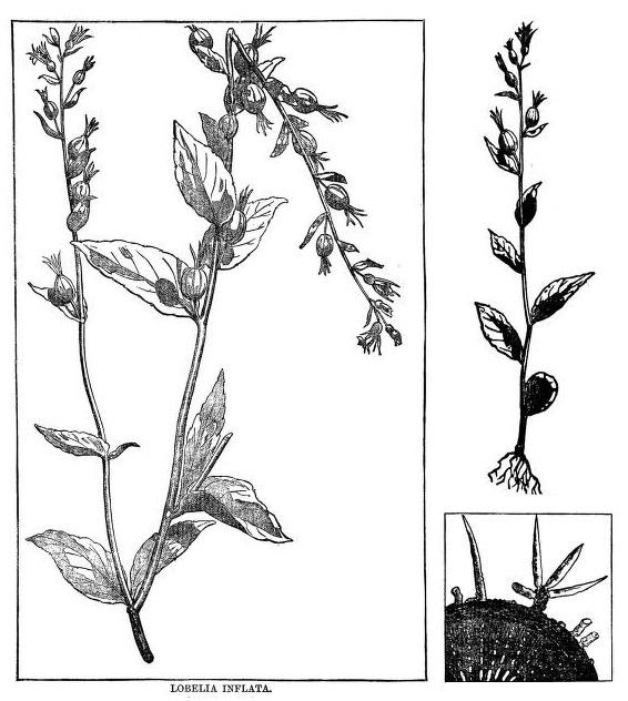 Filelobelia Inflata Drawingjpg Wikimedia Commons